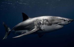 WHITE SHARK 1